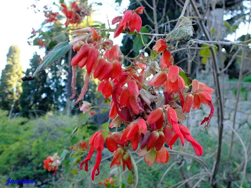 Salvia sessei